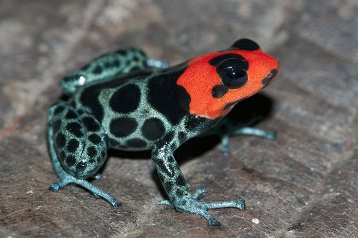 """Blessed poison frog (Ranitomeya benedicta """"Schucuschuyacu"""") was discovered in late 2005. Adults bear a brilliant red head, characteristic of this species, and it is relatively large, up to 20 mm. The frog occurs throughout the Pampas del Sacramento, primarily dwelling in trees. Photo: Thomas Ostrowski."""