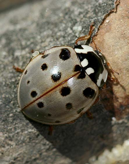 Gray ladybug (Ladybird Beetle). I have actually seen one of these before. Love it!!! DM