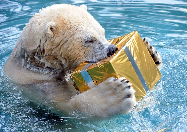 A polar bear opens a package filled with food and wrapped as a Christmas gift at the zoo in La Fleche, France, on December 23, 2013. (Jean-F...