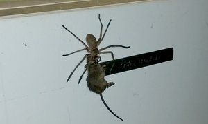 Facebook user Jason Womal posts a video showing a large spider dragging a mouse along what appears to be a fridge. Photograph: Facebook/Jason Womal