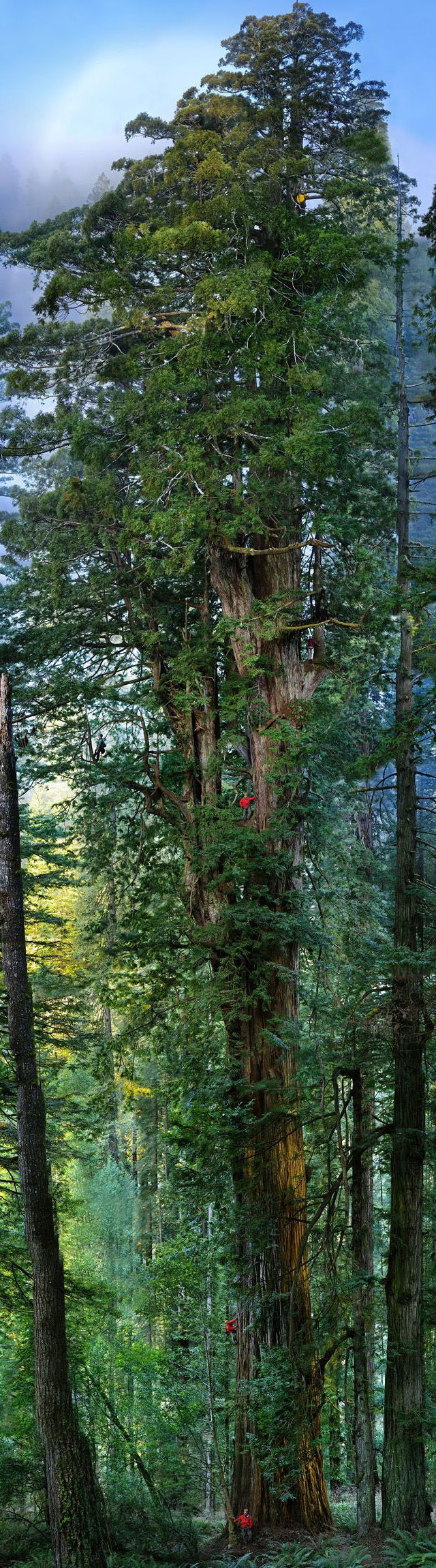 """""""Hyperion"""", the tallest redwood, is 115.5 meters tall and can be found in the Redwood National Park near San Francisco."""