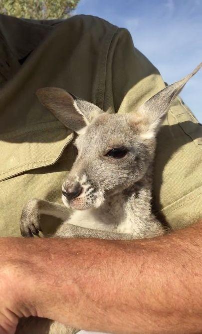 Voici Crystal, un petit kangourou. Cette orpheline vit dans un centre pour kangourous en Australie, à Alice Springs.