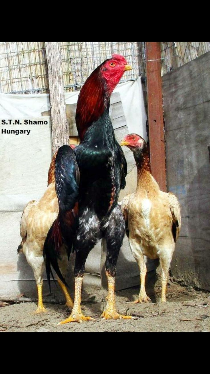 331 best aseel 1 images on pinterest chicken roosters and