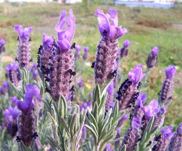 Karabaş OtuSigara ile baş etmek isteyenlere yardımcı bir bitkidir karabaş otu. İçinde bulunan geraniol maddesi kansere karşı koruyucu ve de tümörü yok edici özellik taşımaktadır. Yazının Devamı: Karabaş Otu | Bitkiblog.com Follow us: @bitkiblog on Twitter | Bitkiblog on Facebook