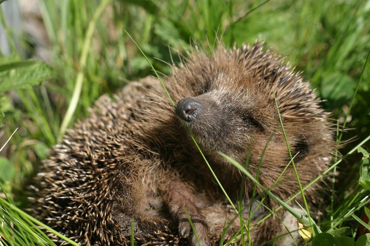 Watch out for hedgehogs at this time of the year