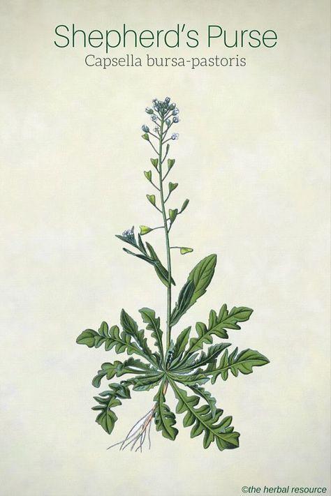 Shepherd's Purse Capsella bursa-pastoris