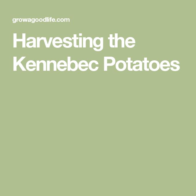 Harvesting the Kennebec Potatoes