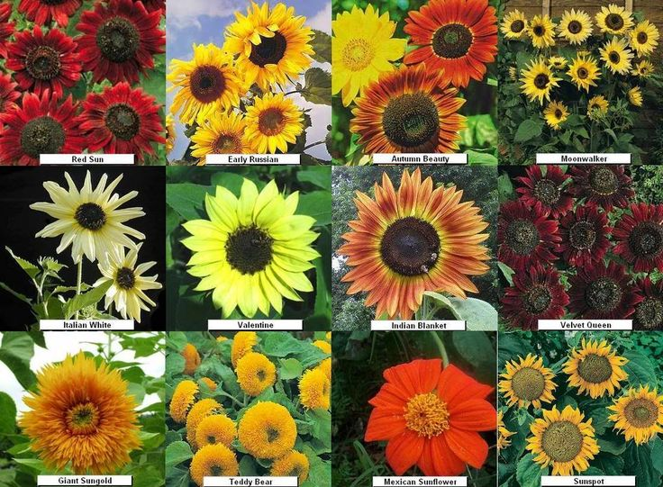 Sunflower Garden Ideas we did sunflowers last yeari hope to do them again this year Fall Sunflower And Pumpkins Aster Flowers Perennialscome In Pink