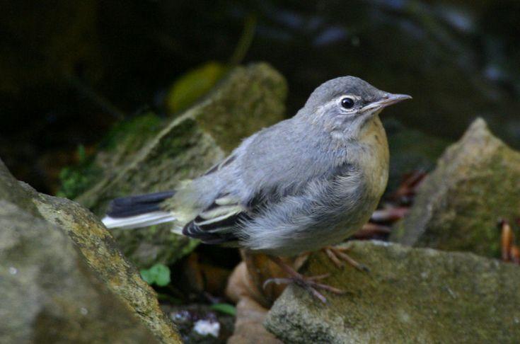 キセキレイ (黄鶺鴒)   Grey Wagtail (Motacilla cinerea) juv
