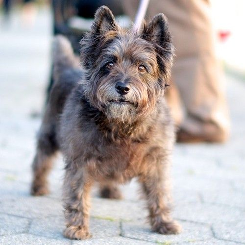 Fred, Cairn Terrier, Hudson River Greenway, New York, NY