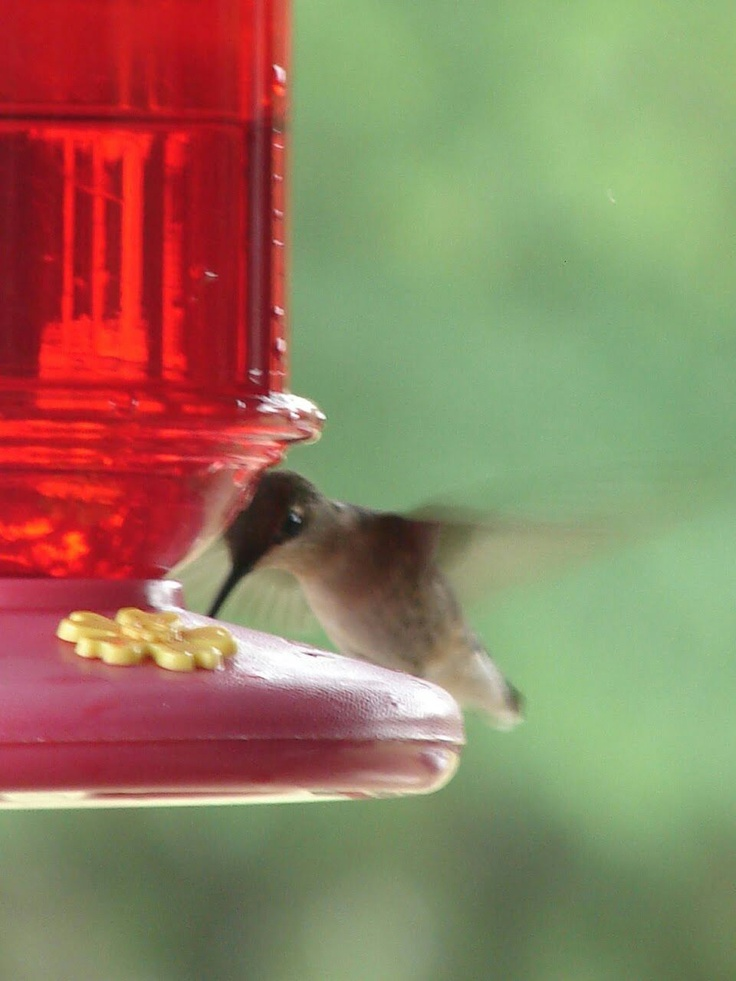 One of my many hummers.: Birds Birds, Flying Friends