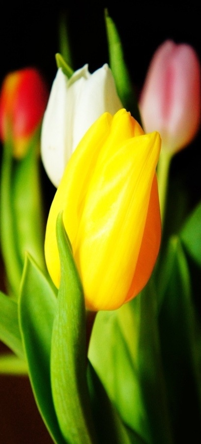 One Yellow Tulip - Yellow tulips used to represent hopeless love but are now associated with cheerfulness and sunshine.