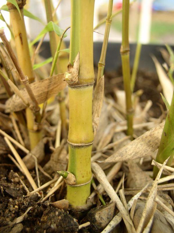 Detail obrázku druhy/Phyllostachys-aurea-Koi-01.jpg
