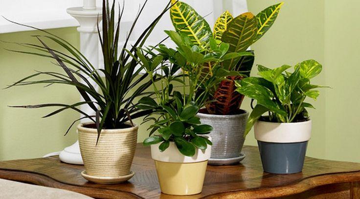 Gambar diatas menunjukkan beberapa jenis tanaman hias indoor yang mudah perawatannya, cocok bagi pemula.