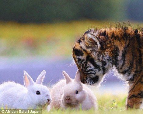 This curious tiger cub is seen sniffing the bunnies, who in turn appear to be…