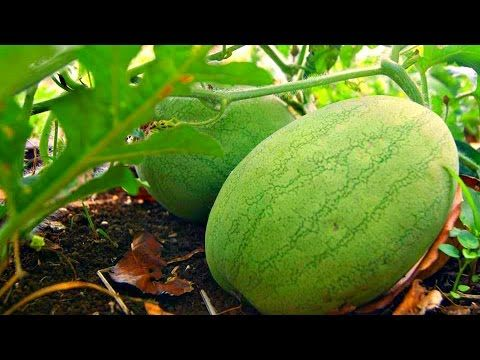 vegetable farming, commercial tomato production, hindi/urdu - YouTube