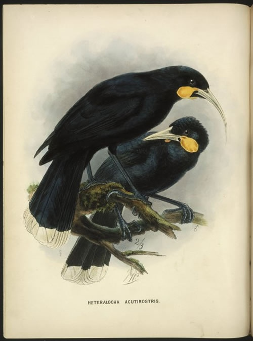 PLate from 'A history of the birds of New Zealand', illustration by Dutch artist, J.G. Keulemans.