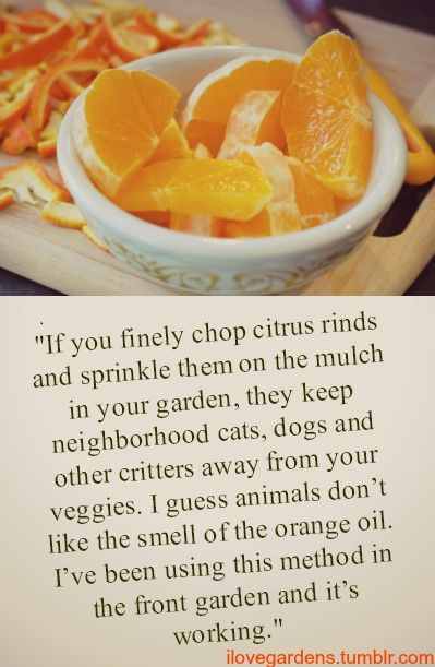 Orange rinds to keep away critters