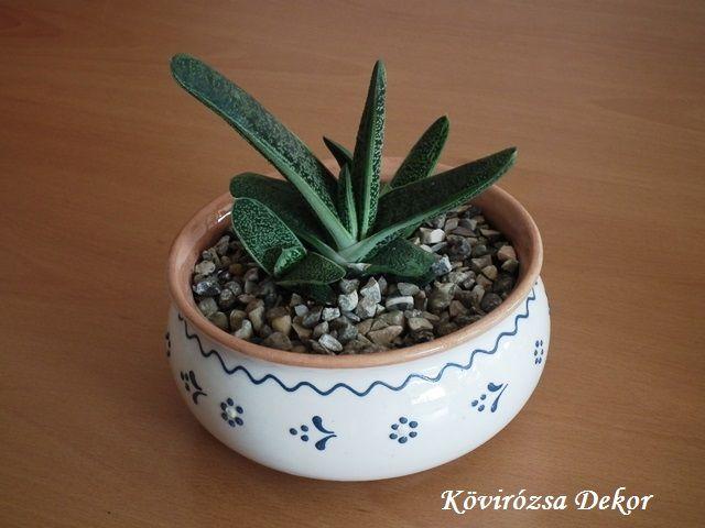 Gasteria sp. succulents, | Kövirózsa Dekor