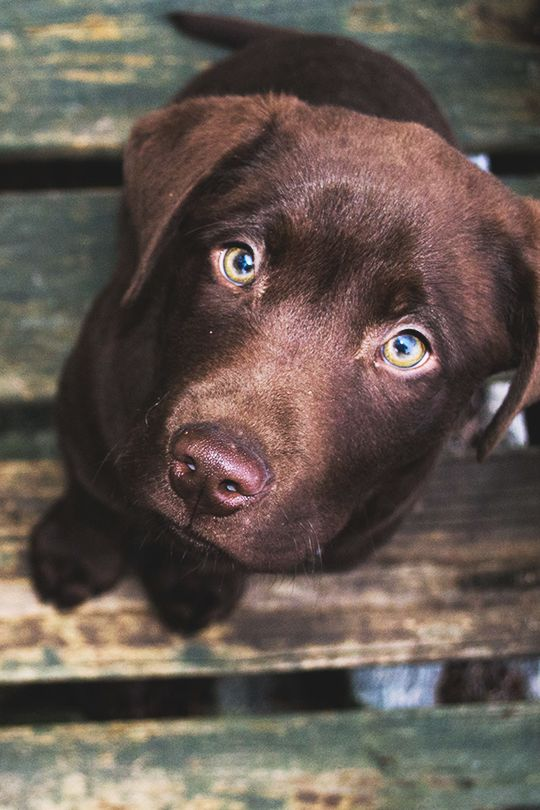 chocolate lab | animals + pet photography #dogs