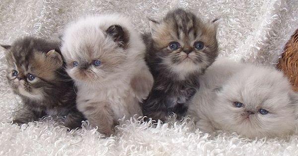 Harga Kucing Persia di Indonesia | Tazesiru Cat's House