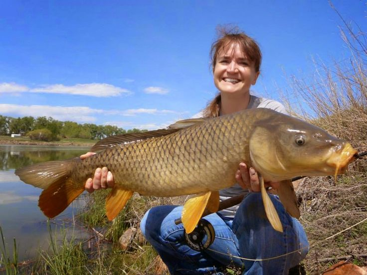 Colorado Fly Fishing Reports *Here are just two of the several nice common carp we landed on Sunday. All sight fishing. Took plenty of backing (seriously, when was the last time you saw your backing while fishing here in Colorado?) Some of these big guys even jumped a few times!