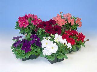 садовые цветы: ЧТО ПОСЕЕМ В ФЕВРАЛЕ?