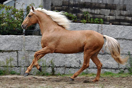 Chocolate Palomino Horses Andalusian | Horsespre | Lusitano palomino Nr 607 | Palomino Horses | Pinterest