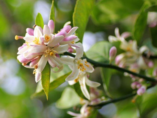 Citrus: un fiore in cucina http://www.foodconfidential.it/citrus-un-fiore-in-cucina/