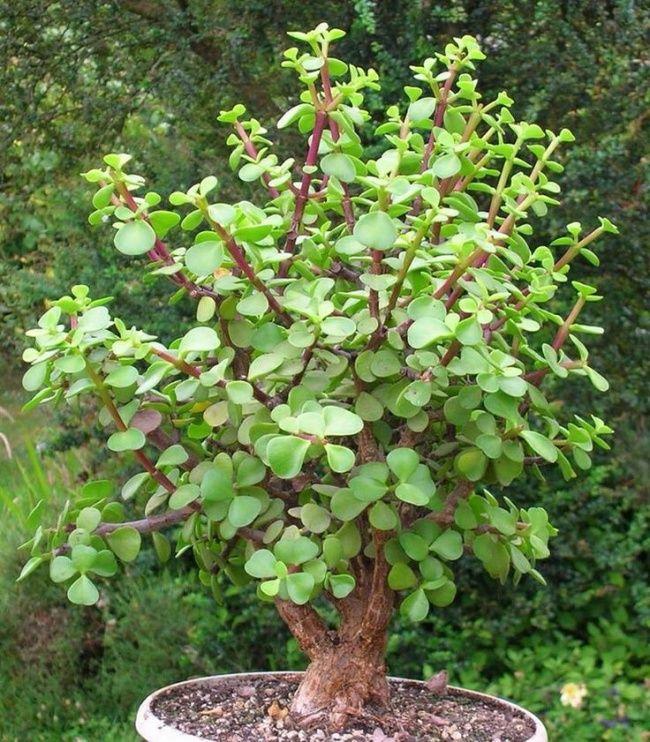 Plantas que no requieren tantos cuidados - Cuidado del bonsai ...