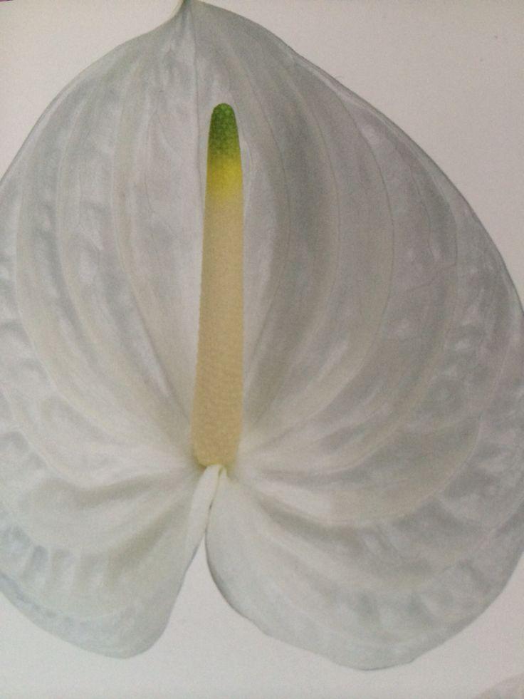 White Presence Anthirium