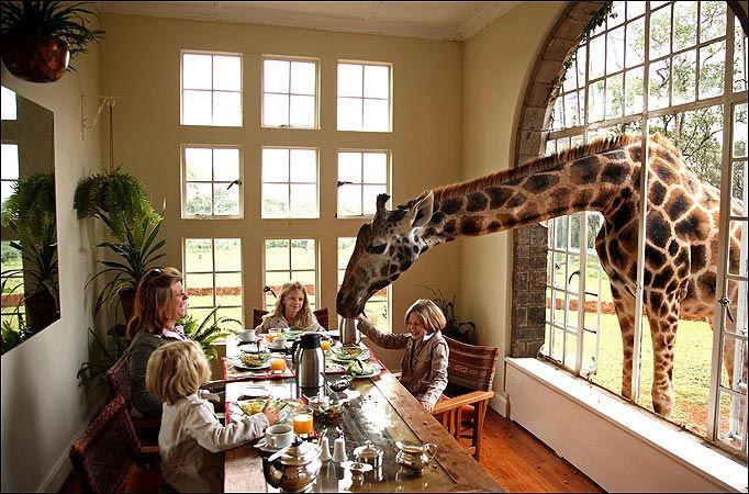 I HAVE TO VISIT HERE  Living with Giraffes at Nairobi's Giraffe Manor - My Modern Metropolis