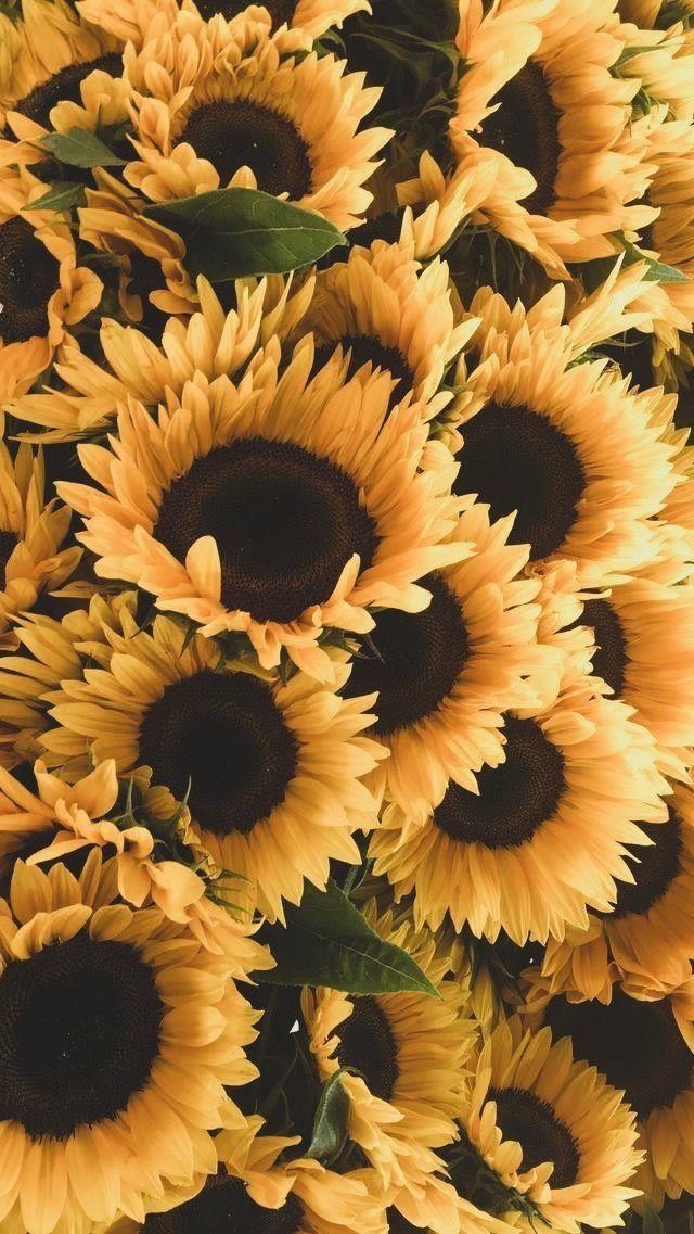 Iphone Wallpaper Sunflower Sunflower Wallpaper Beautiful