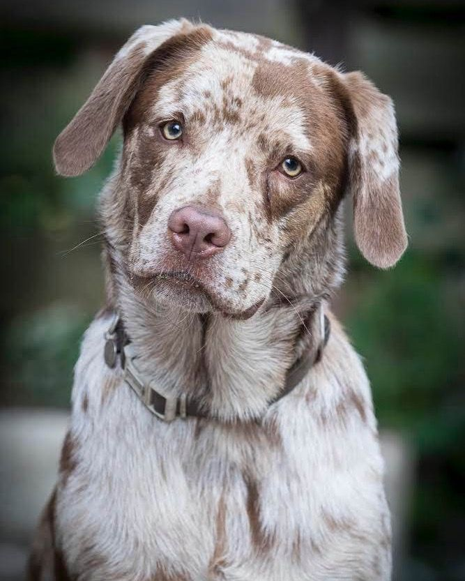 Aussiedor Aussiedorable Aussiedorpuppy Labmix Labmixpuppy Puppy Labrador Australianshepherd Dog Labradorretriever Chocolate Doglovers Dogmo G Modell