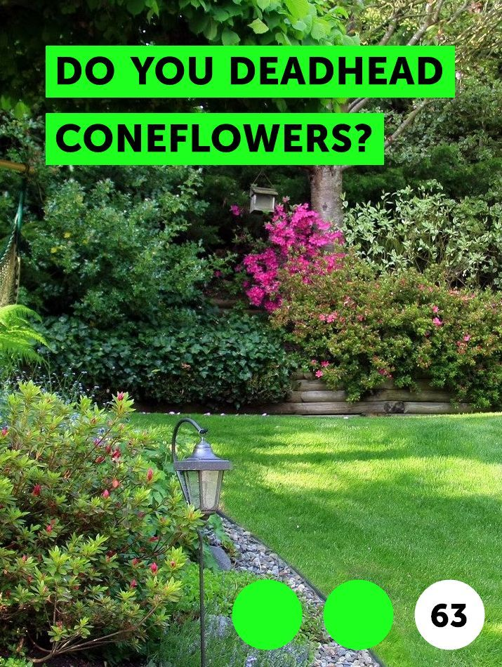 Learn Do You Deadhead Coneflowers How To Guides Tips And Tricks Fruit Garden Plans Clematis Clematis Plants