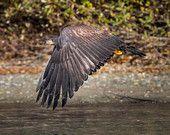 Juvenile Bald Eagle, Wildlife Photography, Fine Art, Wall Decor, Bird Photography, Rob's Wildlife, Epic Wildlife Adventures