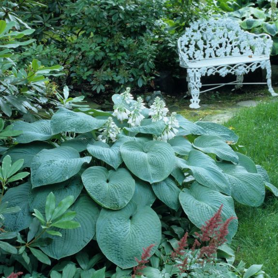 Hosta   Sieboldiana Elegans is a wonderful huge blue hosta. LOVE this one - and the seeds sprout nicely for a host of babies!