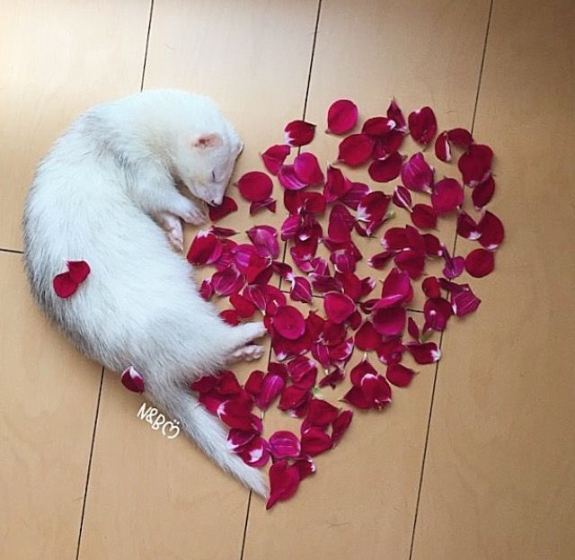 white ferret and rose petal love