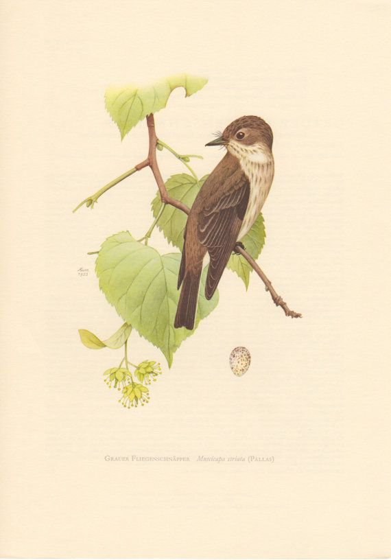 1953 Spotted Flycatcher Antique Print Vintage by Craftissimo