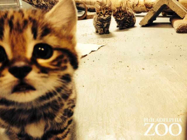 "zooborns: "" Philly Zoo's First Ever Black-footed Cat Kittens are Thriving! "" Philadelphia Zoo's female Black-footed Cat Aza gave birth to a litter of kittens on April 8, 2014: the first Black-footed..."