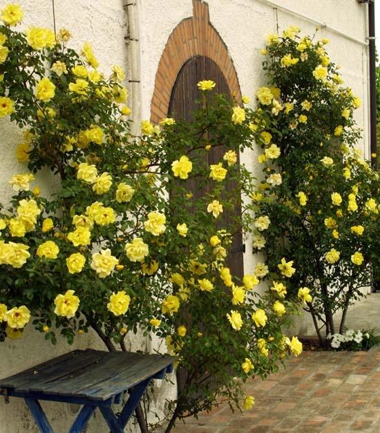 1084 best rosen kletter rosen climbing roses images on. Black Bedroom Furniture Sets. Home Design Ideas