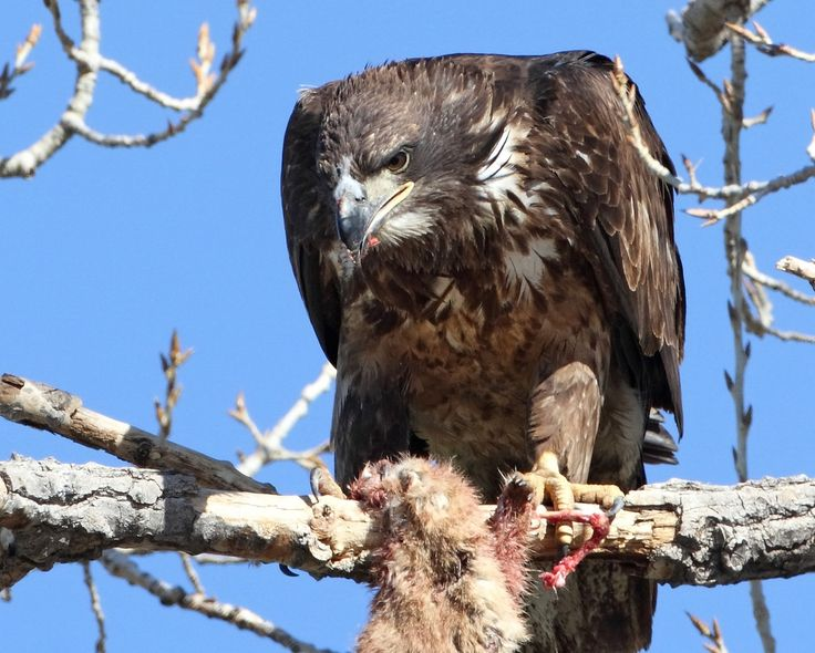 https://flic.kr/p/SkRQDX | Brunch! | An immature bald eagle feasts on a prairie dog near Lagerman Reservoir, Colorado.