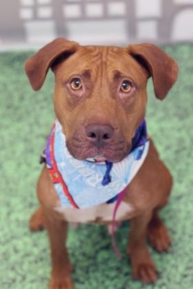 AT RISK: 9-18-17: Sarabi : Breed:Pit Bull Terrier (mix breed) Age: Adult Gender: Female Size: Medium Additional : Altered Shelter Information: Philadelphia Animal Care and Control 111 West Hunting Park Avenue Philadelphia, PA Shelter dog ID: 36055932