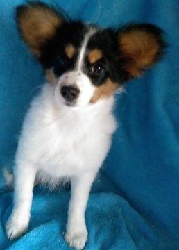 Papillon puppy for sale in GAP, PA. ADN-39956 on PuppyFinder.com Gender: Female. Age: 14 Weeks Old