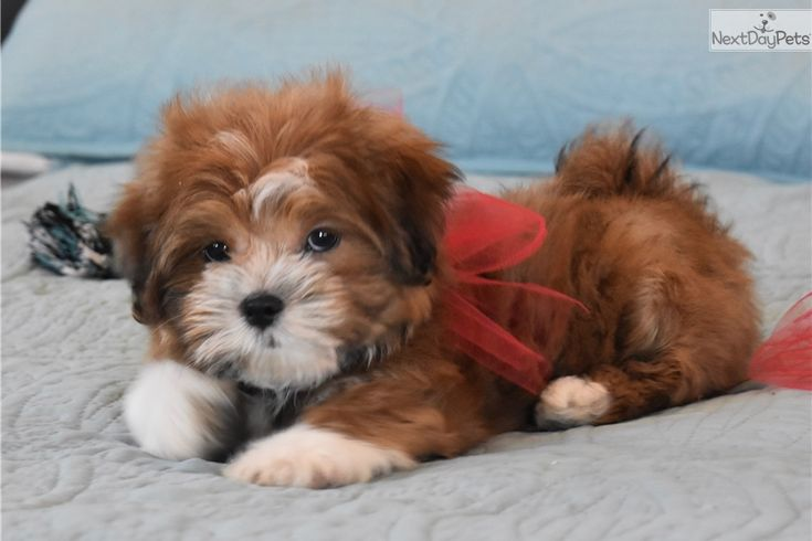 Malti Poo Maltipoo puppy for sale near Dallas / Fort