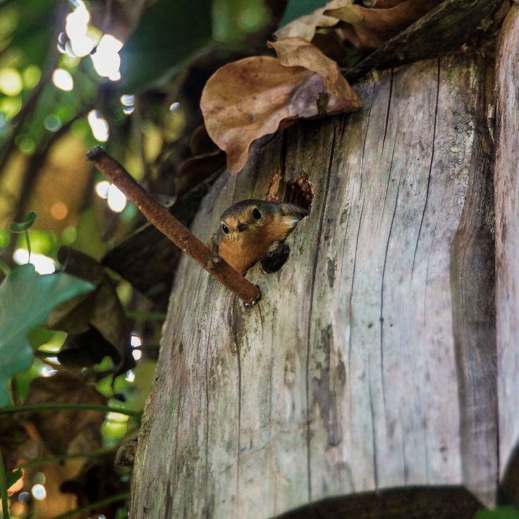 Ganz+entzückend +finde+ich+im+Augenblick+das+Rotkehlchen Männchen,+welches+in+einem+glänzenden+alten+Wasserkessel+ein+Nest+herrichtet.+Heute,+am+23.+u2026u003c/pu003e