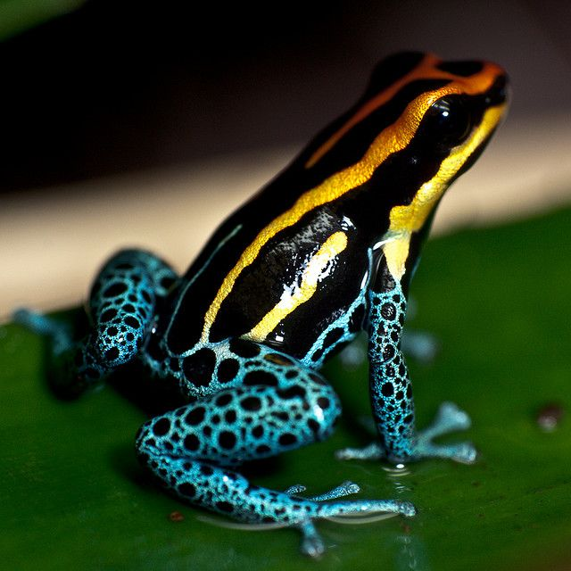 Poison Dart Frog Sitting on a Leaf by MoleSon², via Flickr