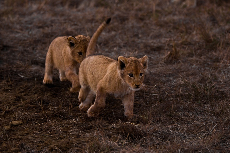 Southern Pride at Sabi Sabi Private Game Reserve, South Africa - hunting practice: Southern Pride, Big Cats, South Africa, Sabi Sabi, Game Reserve, Hunting Practice