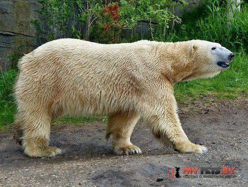 Уже через 10 лет белые медведи могут исчезнуть как вид | Живой уголок он-лайн