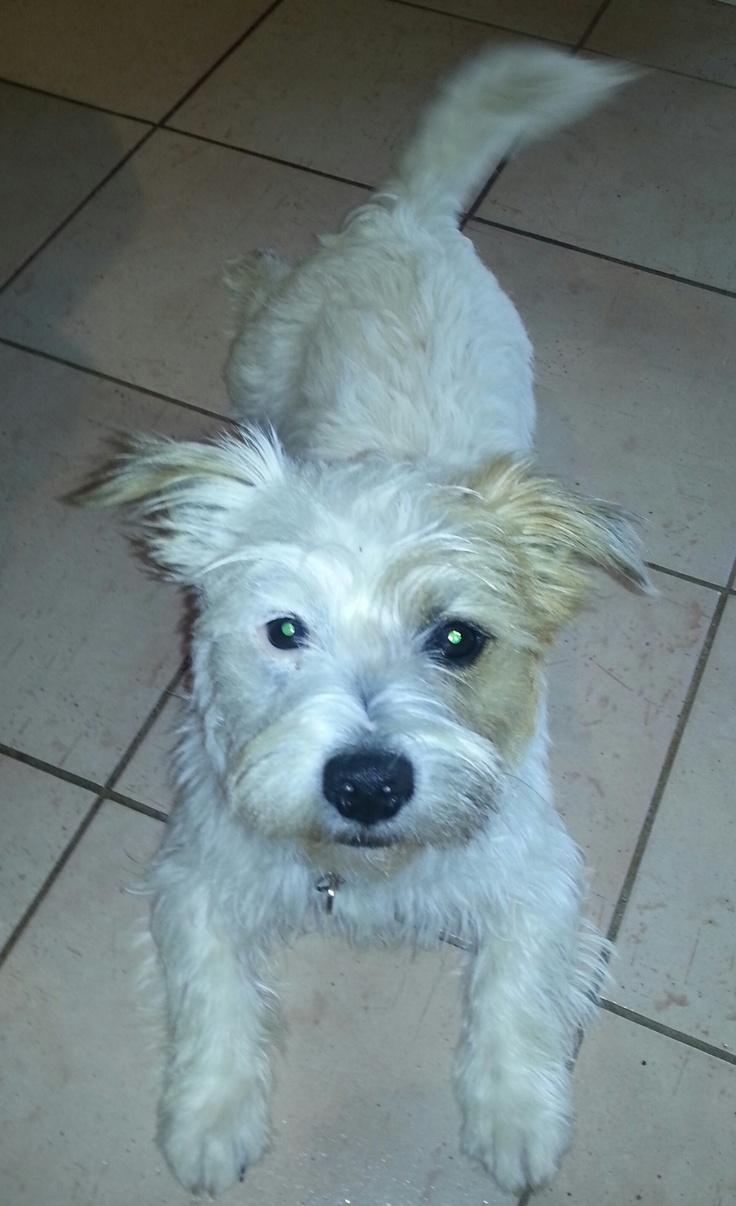Our beautiful new rescue dog Maisie, Sep '12, 18 mths old, West Highland White Terrier, Jack Russel X - how amazing her little face is - half and half! Loves eating shoes and lounge cushions! But we still love her!